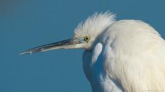 garzetta infreddolita!!! (taronik) Tags: natura uccelli acqua animali garzetta cacciafotografica slicesoftime blinkagain blinksuperstar blinksuperstars