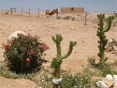Qasr al-Kharana: Rose e Opuntia cylindrica (costagar51) Tags: giordania jordan piante fiori arte natura storia panoramafotográfico thebestofmimamorsgroups anticando contactgroups