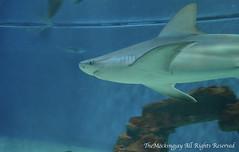 Shark (Haku_Orka) Tags: aquarium shark liguria genoa acquariovillage