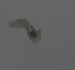 Harfang des neiges / Sowy owls (MichelGurin) Tags: canada  qubec qc snowyowl mirabel harfangdesneiges rangsaintdominique nikond7100 sigman70200