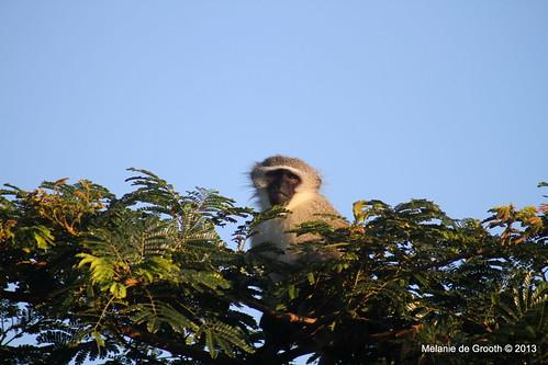 Vervet Monkey on Guard