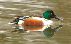 Northern Shoveler (orencobirder) Tags: ducks flickrexport waterbirds canonef600mmf40lisiiusm