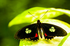 Black On Green (k009034) Tags: life travel red plant black green nature beautiful animal canon butterfly insect photography eos 350d leaf spain wildlife andalucia rebelxt antenna benalmadena beautifulearth vision:plant=0712 vision:flower=0556