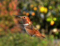 February's Rufous Hummingbird (newagecrap) Tags: california bird birds la losangeles hummingbird socal birdsinflight hummingbirds southerncalifornia sanfernandovalley northhills losangelescounty rufoushummingbird selasphorusrufus trochilidae hummingbirdphotography northhillscalifornia february2014