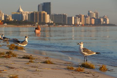 Same Planet, Different Worlds (Don McCullough) Tags: beach buildings miami swimmers southbeach laughinggull canont4i vision:text=062 vision:sunset=0503 vision:beach=0682 vision:car=0776 vision:outdoor=0515
