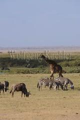 10070805 (wolfgangkaehler) Tags: africa kenya african wildlife giraffe wildebeest amboseli kenyan eastafrica eastafrican giraffacamelopardalistippelskirchi masaigiraffe burchellszebra wildebeests amboselinationalpark burchellszebras amboselikenya burchellszebraequusquagga amboselinatlparkkenya