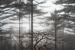 Huangshan Pines III (Doug Knisely) Tags: china trees winter mist fog pine bush nikon foggy cny flare shrubs pinetrees arching huangshan springfestival anhui 2014 d600 mounthuang 281