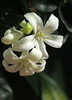 "Murraya paniculata - ""Orange Jessamine"" (life-is-color) Tags: usa garden botanical florida miami tropical fairchild murraya murrayapaniculata orangejessamine"