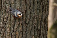Le tronc commun (Eric Penet) Tags: france animal arbre oiseau fort nord tronc sauvage sittelle passereau mormal torchepot locquignol