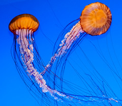 JellyFish (ScreaminScott) Tags: