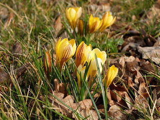 Gruppen-Frühling in gelb - yellow spring-group