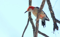 Red Bellied Woodpecker IMG_3717 (ForestPath) Tags: winter sky male bird home beautiful backyard woodpecker branches redhead redbelliedwoodpecker elm singlebird palepaleblue checkingoutfeedingstation onthemaletheredcomesallthewaytothetopofthebeakonthefemaletheredstopsshortofthat