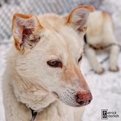 Untitled (photo-ing) Tags: dog husky finnland lappland sledge kskero