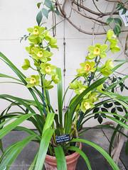 Scotch Mist (simonevanbergen) Tags: winter flower green yellow garden botanical orchids unitedkingdom greenhouse oxford bloom citycentre 2014 scotchmist