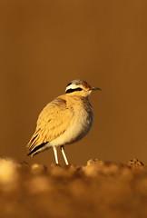 Cream-coloured Courser, Morocco (Daniel Trim) Tags: sahara nature birds wildlife birding cream morocco coloured cursor merzouga creamcoloured courser cursorius