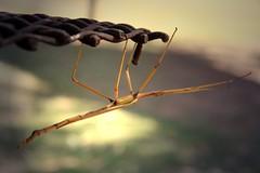 Stick insect . Phasmatodea (Uhlenhorst) Tags: travel animals tiere reisen australia australien 2013 vision:sky=0812