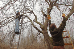 "Apple Pruning Party <a style=""margin-left:10px; font-size:0.8em;"" href=""http://www.flickr.com/photos/91915217@N00/13528326193/"" target=""_blank"">@flickr</a>"