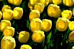 Fte de la tulipe (Diegojack) Tags: fleurs parc morges tulipes ftedelatulipe indpendance