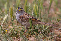 White-throated Sparrow (Explore) (Eric Gofreed) Tags: arizona sparrow whitethroatedsparrow yavapaicounty vbarvranch