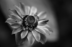 A Dream Of Blue (AnyMotion) Tags: flowers blackandwhite bw plants macro primavera floral spring blossom bokeh frankfurt sw makro blte printemps frhling 2014 poppyanemone anemonecoronaria makroaufnahmen anymotion canoneos5dmarkii 5d2 kronenanemone