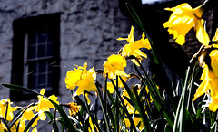 Daffodils (Vavvaflo) Tags: uk colors scotland colours stirling scottish daffodils