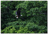 Homeward Bound (Tustin Designs) Tags: fish nature spring baldeagle may raptor birdofprey 2014 southwesternpa dailynaturetnc12
