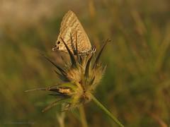 Small treasure (Manon van der Burg) Tags: summer macro field sunrise butterfly dof small zomer tiny vlinder earlyinthemorning natuurfotografie lampides tijgerblauwtje