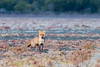 European Red Fox (chrissteeles) Tags: fox sa southaustralia feral redfox coorong europeanredfox