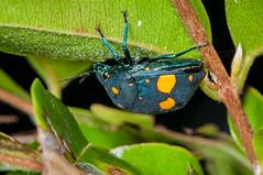DSC_0172.jpg (hankplank) Tags: caribbean stkitts upperwingfield lesserantilles hemiptera pachycoristorridus scutelleridae