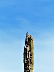Troon North Pinnacle #5 Bird on top of Saguaro zoomed387 (tewiespix) Tags: troonnorth golfcourse golf pinnacle phoenix scottsdale arizona