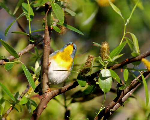 Northern Parula (Setophaga americana) in Carolina Willow (Salix caroliniana)