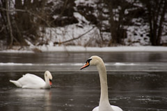 "The Swan. Chapter 2 ""Waiting"" (modestmoze) Tags: nature lithuania 2017 february outside outdoors birds animals hill orange waiting moving river water ice flowing running trees brown white grey reflection black 500px beak two pair naturephotograph snow winter cold"