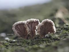 Schizophyllum commune, bottom view (Phil Arachno) Tags: eppstein hessen germany pilz baumpilz fungus fungi schizophyllum maintaunuskreis