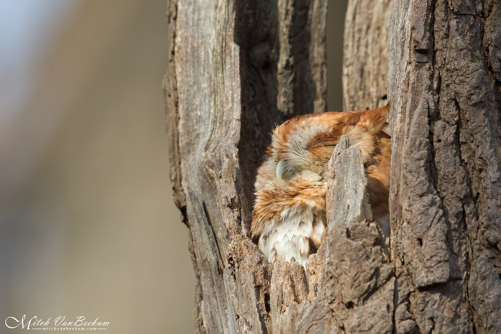 Soaking In The Rays (Eastern Screech Owl)