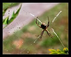 Wet Web (Seeing Things My Way...) Tags: spider web spiderweb orbweaver water droplet wet