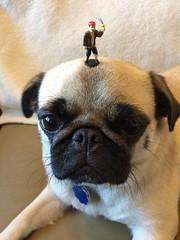 Pug with pirate (wombatarama) Tags: pug