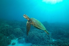 green turtle in a blue world (BarryFackler) Tags: hawaii sealife ocean underwater 2017 konadiving cheloniamydas greenseaturtle reptile honu seaturtle hawaiiangreenseaturtle cmydas marinereptile carapace turtle wideangle sun sunlight sunshine honaunau barryfackler bigislanddiving marinelife tropical zoology vertebrate reef sealifecamera bay hawaiidiving kona seacreature ecology marinebiology coral dive undersea organism sea marineecosystem fauna aquatic pacificocean nature westhawaii saltwater diving polynesia animal coralreef life hawaiiisland scuba barronfackler water ecosystem island outdoor pacific konacoast hawaiicounty honaunaubay diver sandwichislands southkona marine hawaiianislands creature bigisland biology being marineecology
