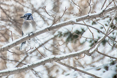 blending in (lynn.h.armstrong) Tags: camera blue trees winter dog brown white snow ontario canada black bird art pine lens photography grey photo aperture nikon long flickr jay photographer dof bokeh wordpress branches south tail beak blogger images lynn livejournal h getty nik nikkor armstrong stormont facebook sault ingleside twitter tumblr d7000 lynnharmstrong pinterest