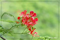 Phoenix-flower3 (Tuan Ru) Tags: canon mark 100mm 1d hanoi tuan hoa 135mm 70200mm 2470mm rau markiii 14mm canon1d honkim hoaphng 1dmarkiii phoenixflower tuanrau