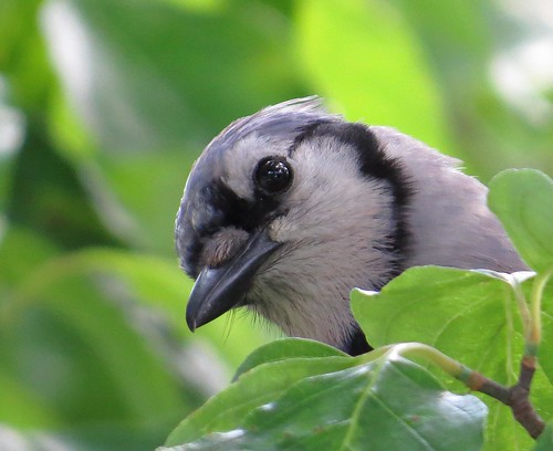 Blue Jay Peeking at Me