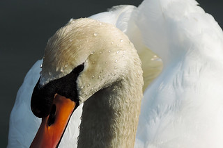 Mute Swan with Droplets (Explored 17 jun 2013, #164)