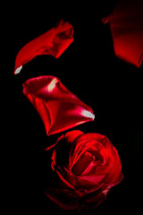 168 of 365 - Like Petals from a Rose (fearghal breathnach) Tags: lighting red motion flower color beauty rose petals flora blossom creative petal falling capture naturalbeauty tones frozenmoment offcameraflash tabletopphotography