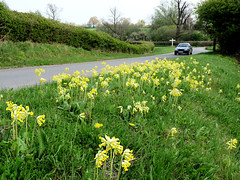 Cowslips on the verge (Peter Herring) Tags: hatfield primula essex verge cowslip primulaveris veris hallingbury