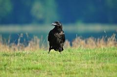 Kolkrabe_Feldberg_Mecklenburg (Seeadler 1) Tags: rabe feldberg mecklenburg rabenvogel singvogel kolkrabe allesfresser