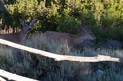 Mule bucks (SBGrad) Tags: mountains animal nikon wildlife velvet deer antlers nikkor sierranevada muledeer easternsierra alr d90 onionvalley 2013