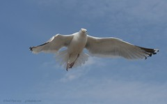 Seagull in motion (Andi Pope) Tags: wildlife eastsussex seaford seabirds