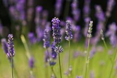 Grasse (Marielle B-R) Tags: red france grasse perfume lavender marielle galimard perfumerie reiersgard