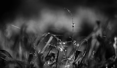Morning Meadow Magic (AnyMotion) Tags: blackandwhite bw macro nature wet grass backlight germany natur meadow wiese sw tau makro brandenburg morningdew spreewald gegenlicht nass morgentau makroaufnahmen anymotion 2013 leipe canoneos5dmarkii 5d2
