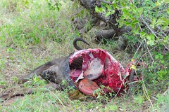 The carcass of a wildebeest killed by a lion (chaojiwolf) Tags: africa animal southafrica wildlife safari naturereserve carcass wildebeest kruger limpopo bluewildebeest balulenaturereserve balule greaterkrugernationalpark