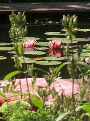 CIMG4258 (PostmodernRomantic) Tags: pink green garden pond waterlilies